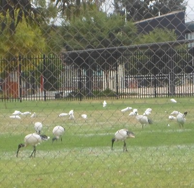 Australian White Ibis And Corellas