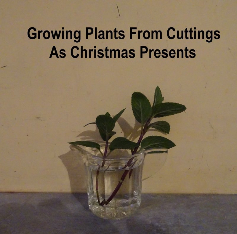 Growing plants from cuttings as Christmas presents