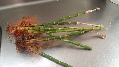 lucky bamboo,propagation,frugal,pot plants,indoor plants,gardening