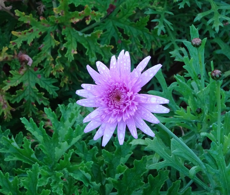 Pink daisy  - Growing Plants From Cuttings As Christmas Presents