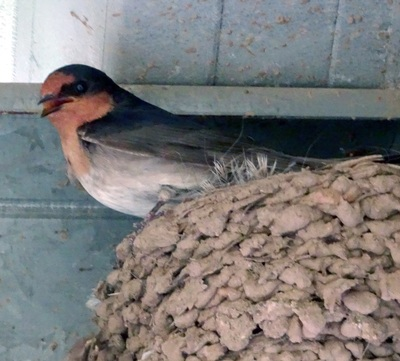 Swallow on nest