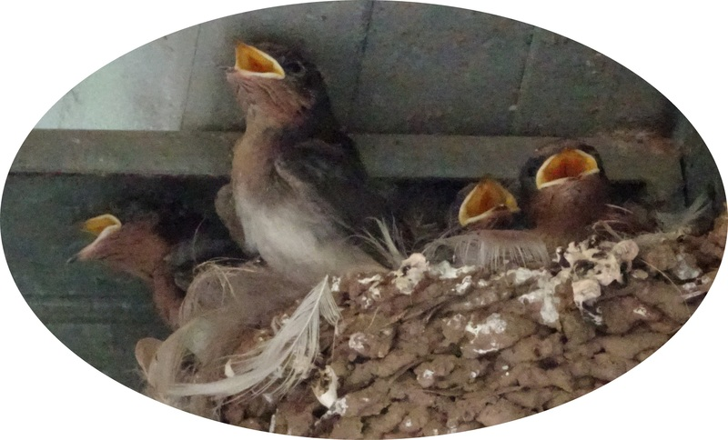 Young swallows  - The Joy Of New Life